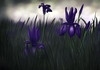 Cartoon: Schwertlilie (small) by alesza tagged schwertlilie,iris,digital,art,painting,illustration,nature,flowers,meadow,unikatdesign