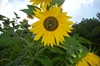 Cartoon: Original Sunflower (small) by freakyfrank tagged sunflower,yellow,flower,german