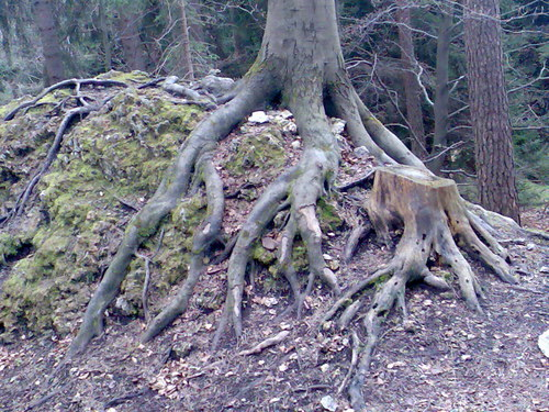 Cartoon: Roots and trunk (medium) by RnRicco tagged nature,franconia,roots,forest,trunk,earth